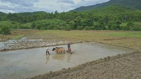 Flycam Moves to Men and Big Oxen Plowing Rice Field. THAC CHAPOR, NINH THUAN/VIETNAM - JULY 15 2017: Flycam moves close to asian men and two big oxen plowing stock footage