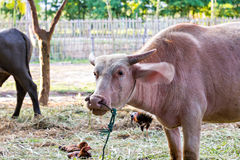 Thai albino water buffalo Royalty Free Stock Images