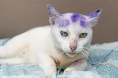 Thai animal : Two color eyes of Thai cat, it`s name Khao Manee w Royalty Free Stock Photos