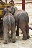 Thai Baby Elephant at Ayutthaya Thailand Stock Photos