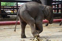 Thai Baby Elephant at Ayutthaya Thailand Royalty Free Stock Images