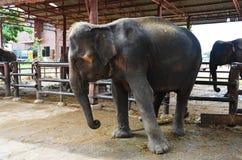 Thai Baby Elephant at Ayutthaya Thailand Royalty Free Stock Photo
