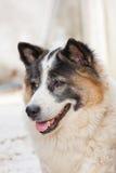 Thai bangkaew dog Royalty Free Stock Photos