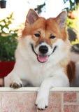 Thai bangkaew dog stock image