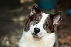 Thai bangkaew dog Stock Photography