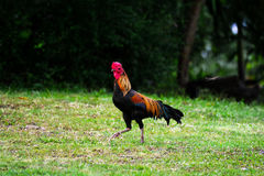 Thai bantam chicken Royalty Free Stock Image