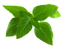 Thai Basil Royalty Free Stock Photo