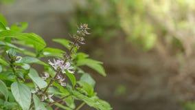 thai basil in garden.sweet basil.Ocimum basilicum. Stock Photo