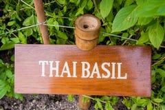 Thai basil herb in the garden. Thai basil herb growing in the garden Stock Photo