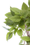 Thai Basil Leaves Isolated Stock Photo