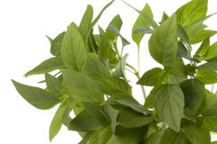 Thai Basil Leaves Isolated Stock Images