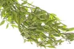 Thai Basil Leaves Isolated Royalty Free Stock Photo