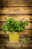 Thai Basil in pot on old wooden box Stock Images