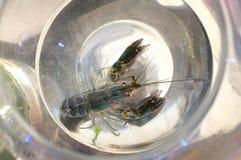 Thai beautiful Crayfish Shrimp in aquarium Stock Photography