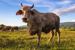 Thai Beef Cow Royalty Free Stock Photos