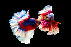 Thai betta fighting fish  battle. Red and blue Thai betta fighting fish with full body top form to fight isolated on black background Stock Photography
