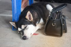 The Thai black dog lying on the cement floor to keep the owner`s bag stock photography