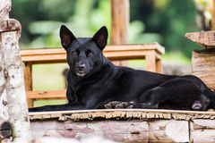 Thai black dog on terrace Royalty Free Stock Images