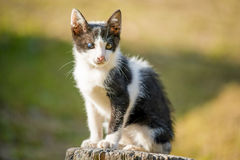 Thai black and white cat two colored eyes in the garden Royalty Free Stock Image