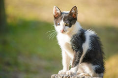 Thai black and white cat two colored eyes in the garden Royalty Free Stock Photos
