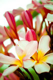 thai blomma Royaltyfria Foton