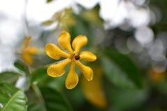 thai blomma Arkivfoto