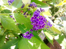Thai blomma Arkivfoton