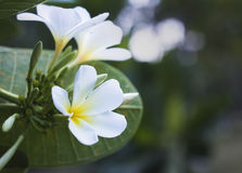 thai blomma Royaltyfri Foto