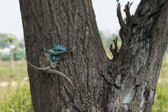 Thai blue lizard. Pai, Thailand. Thai blue lizard on a tree copulating. Pai, Thailand Stock Photo