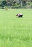 thai bonde Royaltyfri Bild