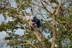 Thai bonde för livstil bönder klättrar träd Royaltyfri Fotografi
