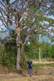 Thai bonde för livstil Bönder söker efter mat i fältet Royaltyfria Foton