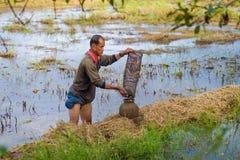 Thai bonde för livstil Thailändska bönder är fiskfälla i risfältfält Royaltyfri Bild