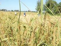 Thai bonde för ris Royaltyfria Bilder