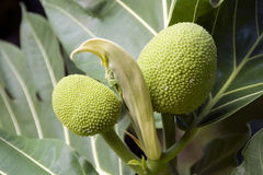 BREADFRUITS. Thai breadfriuts in the morning light Stock Images