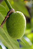BREADFRUIT. Thai Breadfruit in the moring light Royalty Free Stock Images