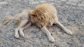Thai breed dogs resting. Thai dog resting outside , Thai mixed breed dog in countryside stock video footage