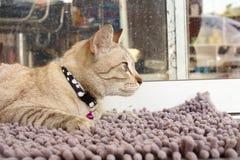 Thai brown cat Stock Photo