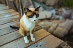 Thai Brown Cat Sitting on wooden pathway Royalty Free Stock Image