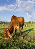 Thai Brown Cow eating grass Stock Photo