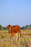 Thai brown cows in rice field Stock Photos