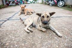 Thai brown dog Royalty Free Stock Image