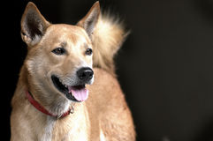 Thai brown dog with red collar Royalty Free Stock Photo