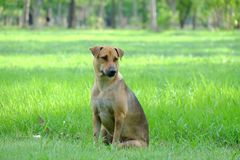 Thai brown dog sitting on a grass field at the park with green nature background and warm light. Thai brown dog sitting green grass field park nature background stock photos