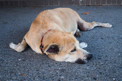 Thai brown dog is sleeping on the street Stock Photos