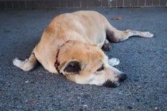 Thai brown dog is sleeping on the street Stock Photos