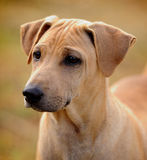Thai  brown Ridgeback Dog Royalty Free Stock Photo