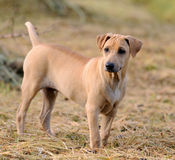 Thai brown Ridgeback Dog Royalty Free Stock Photos