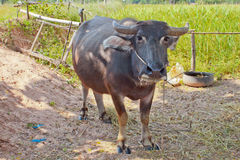 Thai buffalo Stock Images