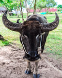 Thai buffalo Stock Photos